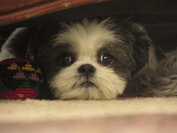 adorable shih tzu eyes
