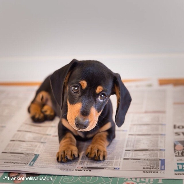 awesome doxie puppy