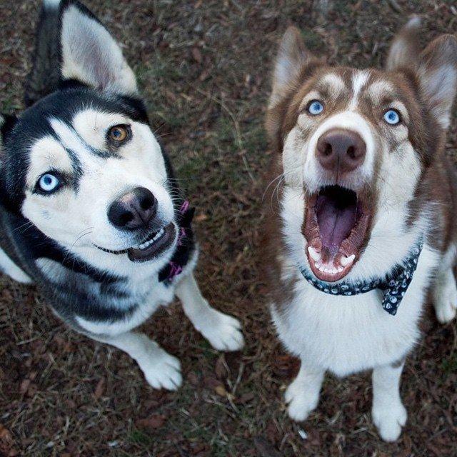 awesome huskies photo
