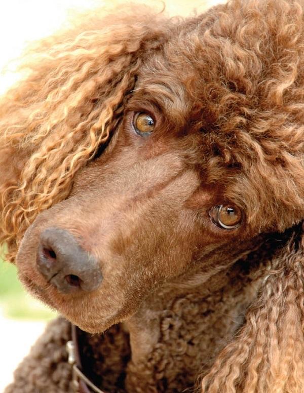 beautiful eyes poodle