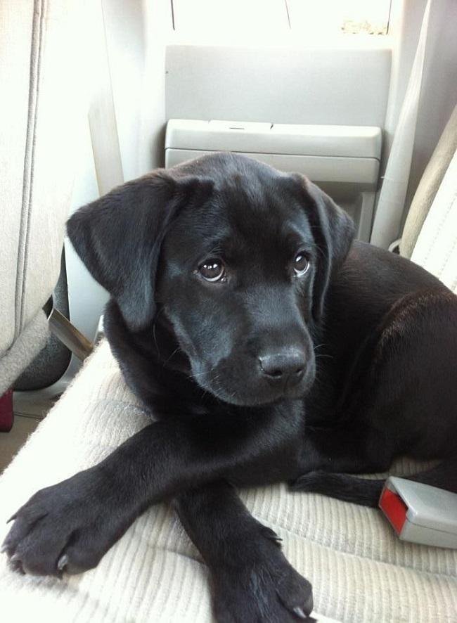 View Ad: Black Labrador Retriever Dog for Adoption near Tennessee USA
