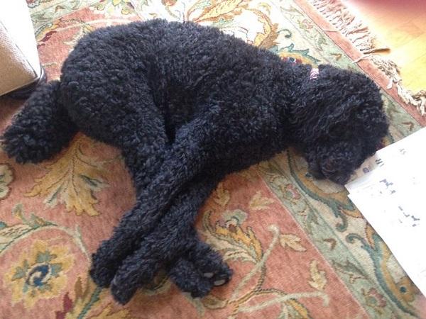 black poodle nap