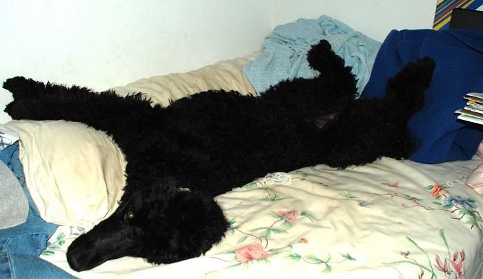 black poodle rest