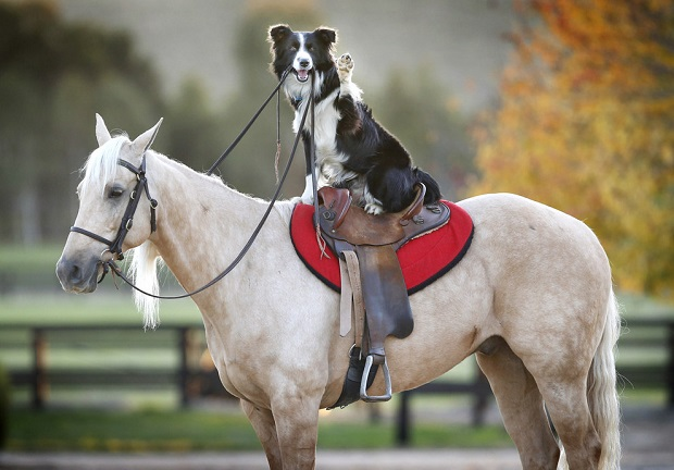 boder collie horse riding