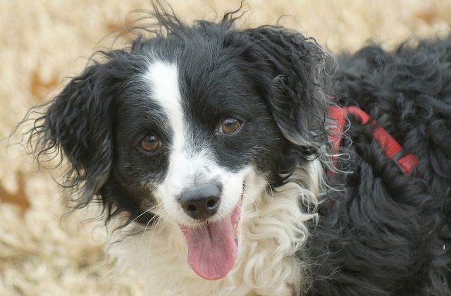 12 Unreal Border Collie Cross Breeds You Have To See To ...