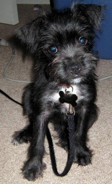 Boston Terrier Miniature Schnauzer Cross