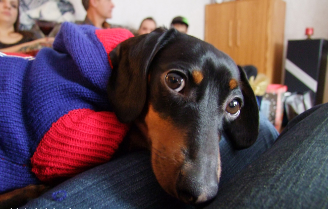 cute doxie face