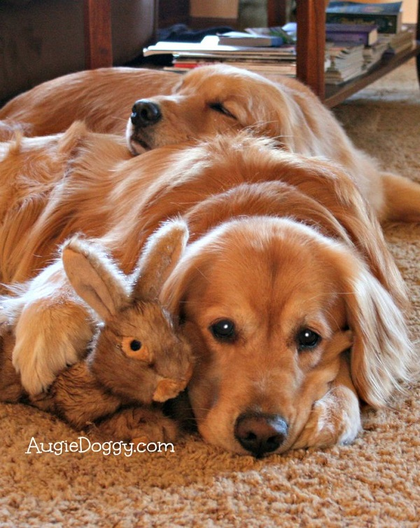 25 Reasons Golden Retrievers Are Actually The Worst Dogs