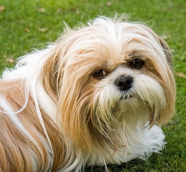 cute puppy shih tzu photo eyes
