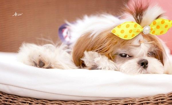 cute shih tzu photo pics