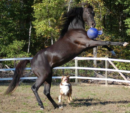 dog and horse playing ball