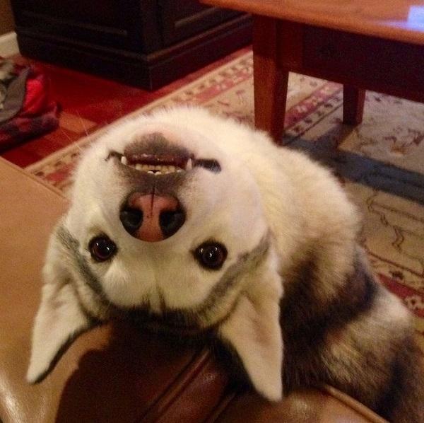 eyes husky begging