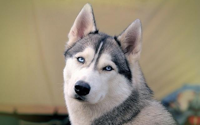 eyes husky photo face