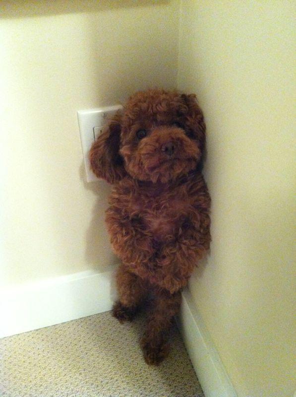 funny little poodle corner