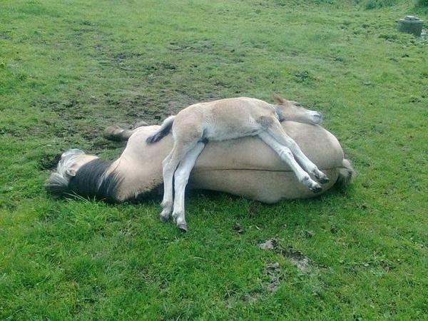 funny sleeping horses