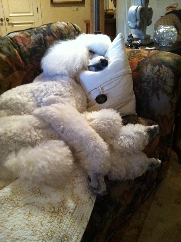 funny sleeping poodle