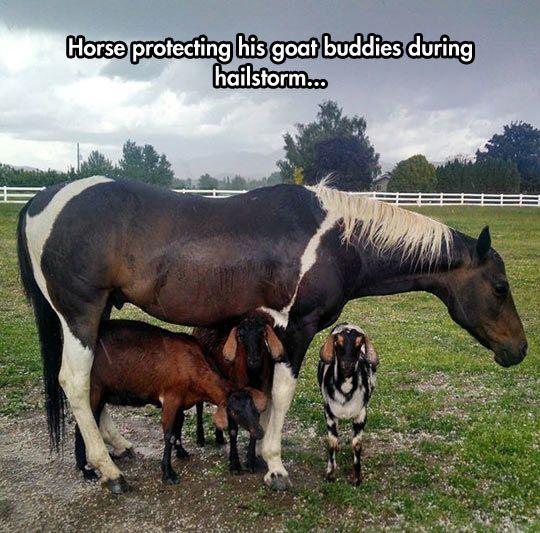 goats horse storm
