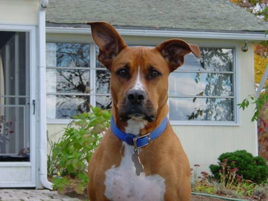 12 Unreal Boxer Cross Breeds You Have To See To Believe  12 Unreal Boxer...