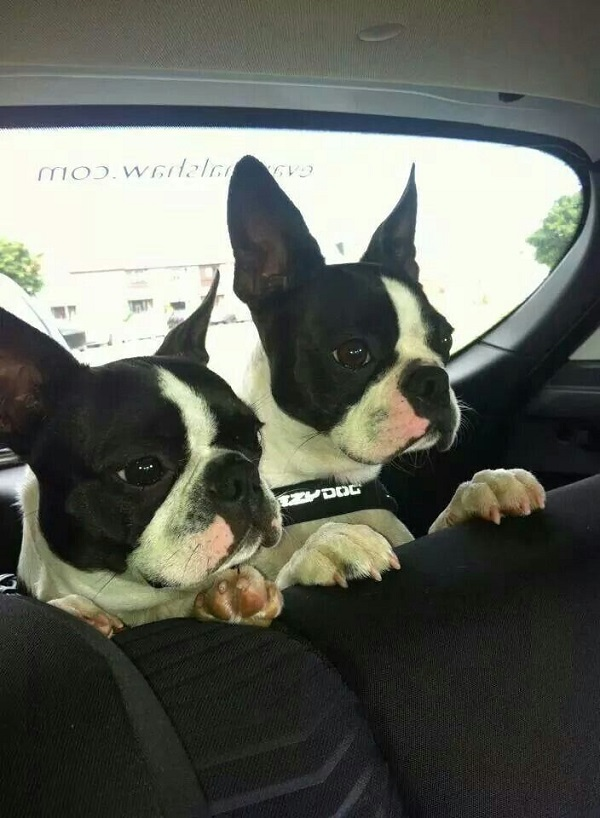 happy boston terriers car