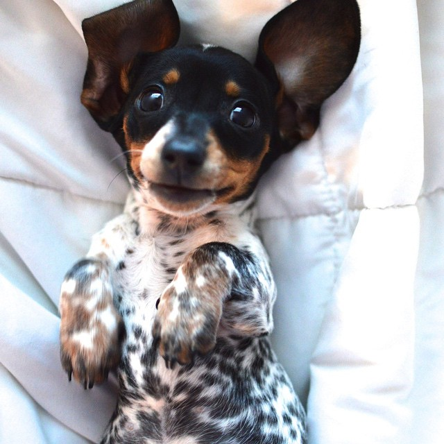 happy doxie puppy