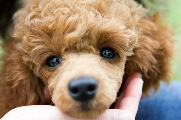 happy eyes face poodle