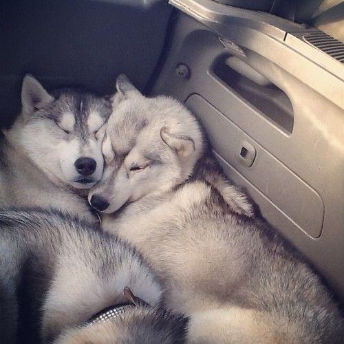 huskies cuddling