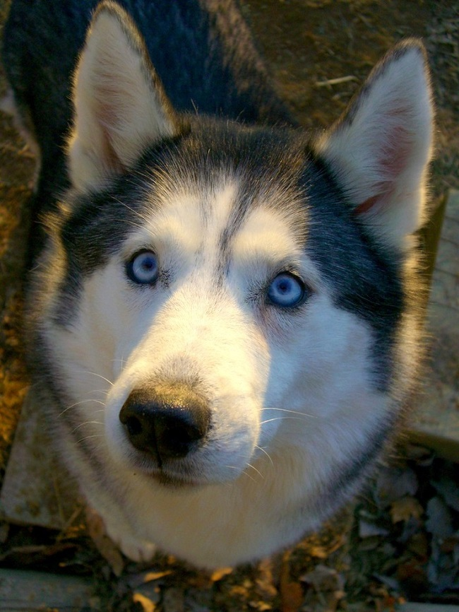 16 Reasons Huskies Are Not The Friendly Dogs Everyone Says ...
