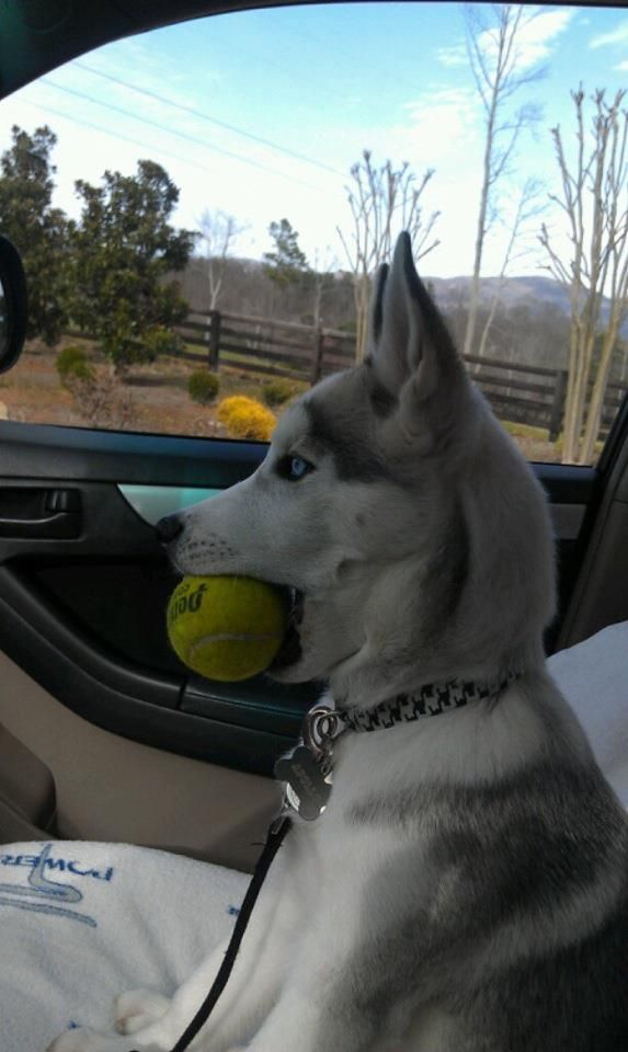 husky with ball in car