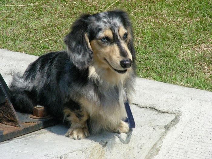 Black Dog Long Hair Medium