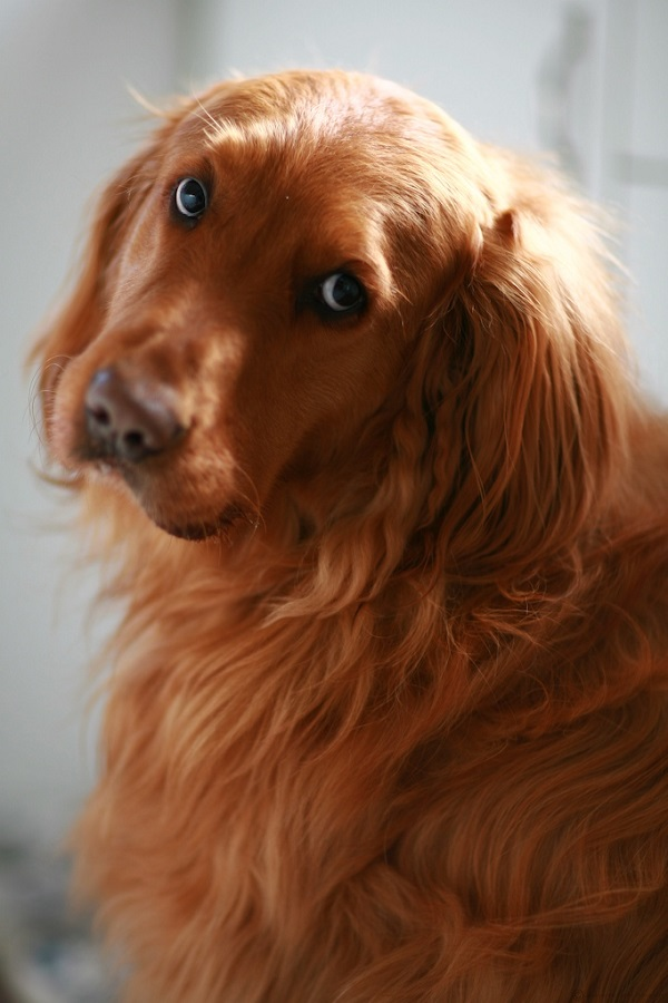 golden retriever red 25 reasons golden retrievers are actually the worst dogs 7454
