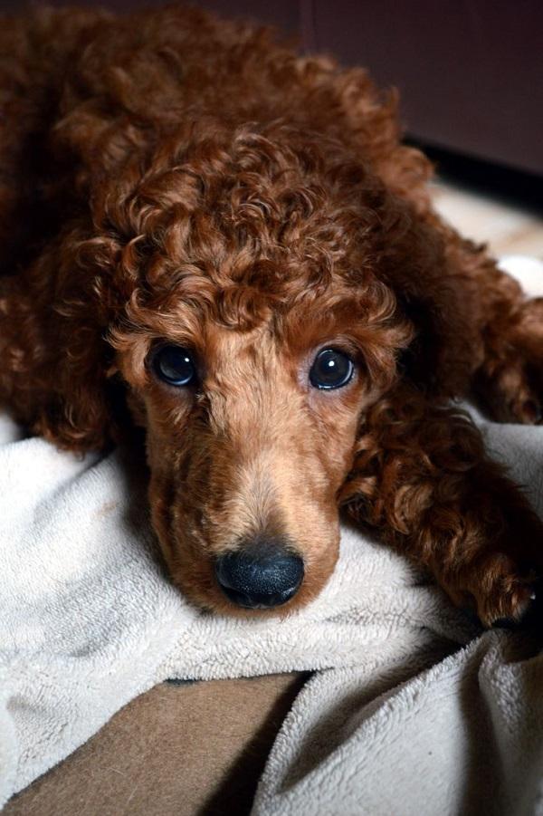 lovely poodle eyes