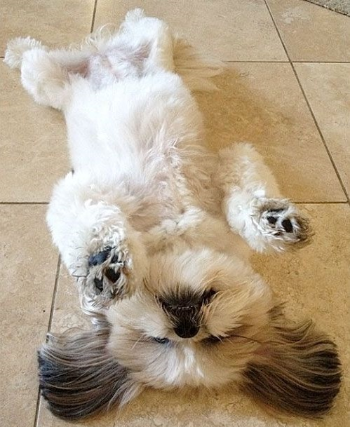shih tzu funny 21 reasons shih tzus are actually the worst dogs to live with 500
