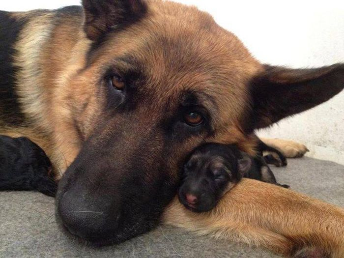 pictures of baby german shepherd 16 reasons german shepherds are not the friendly dogs 9971