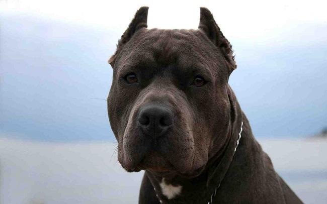 pit bull face pics