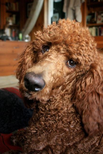 poodle eyes begging