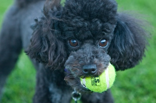 poodle play ball