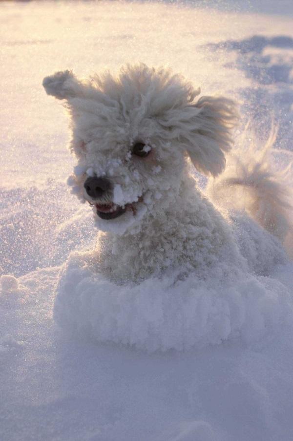 poodle snow pics