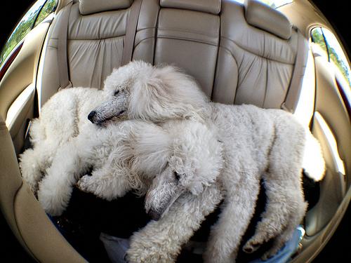 poodles cuddling