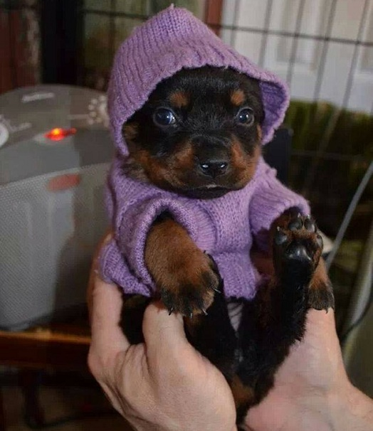 rottie in sweater