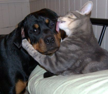rottweiler and cat kiss