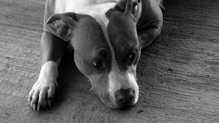 10 Best Pit Bull Dog Names