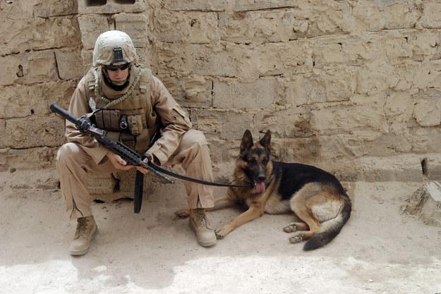 soldier german shepherd photography