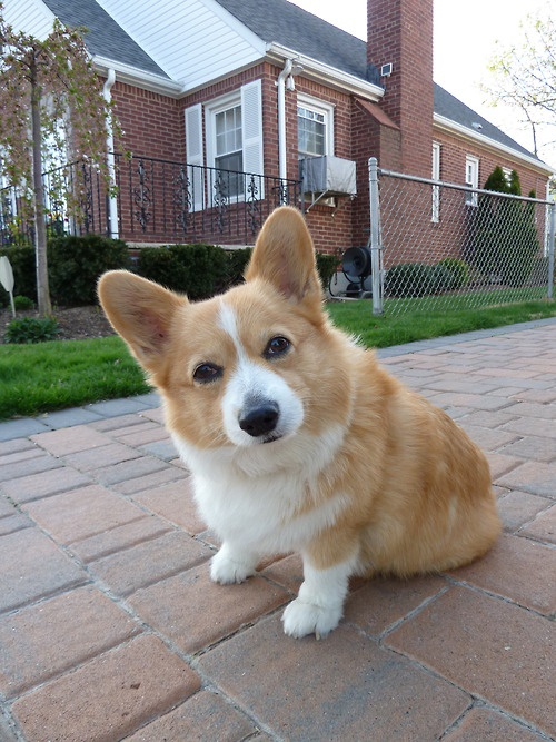19 Reasons Corgis Are Actually The Worst Dogs To Live With