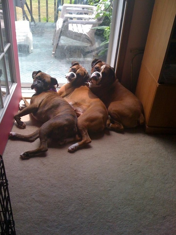 three boxers dogs photo