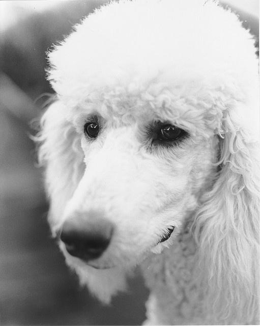 white poodle eyes