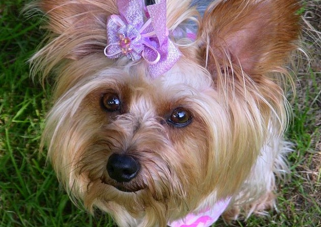 Small in size but big in personality, Here are TOP 10 interesting facts about Yorkshire Terrier. 4