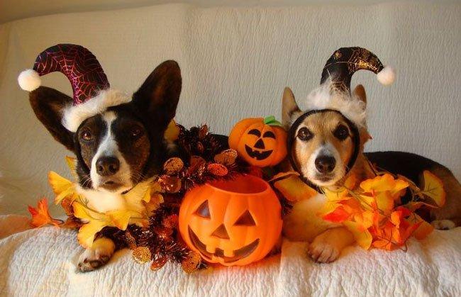 Autumn Jesters corgi