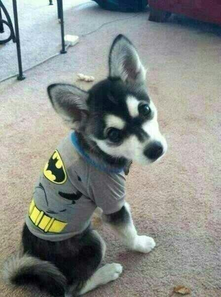Batman costume husky