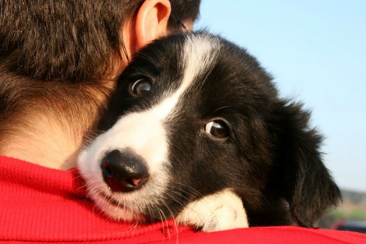 Border Collie hug
