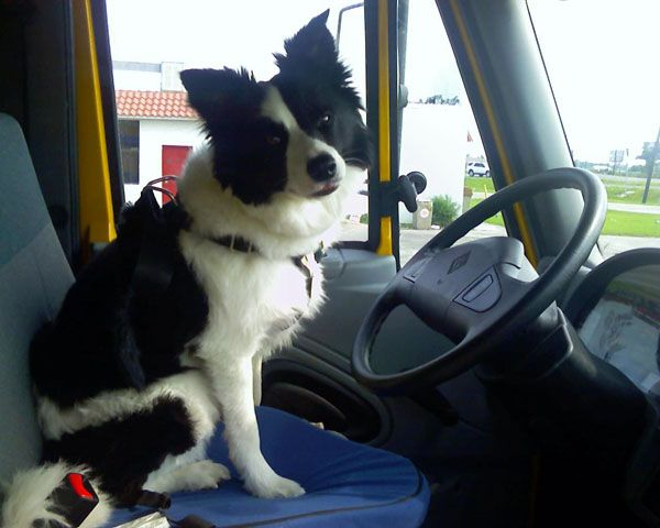Border Collie in car